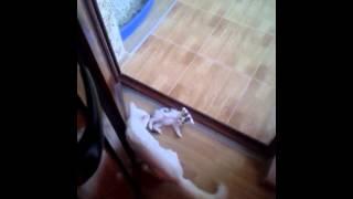 Pisica ninja