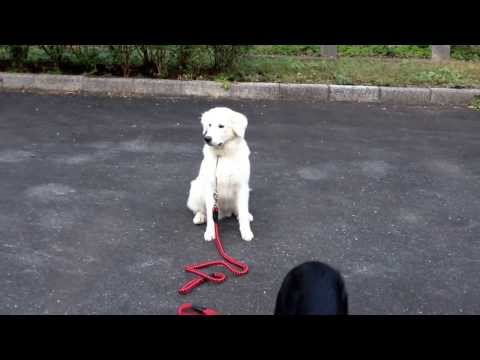 My 7 month old labrador, 7 months old Rottweiler, and Six month old Great Pyrenees,