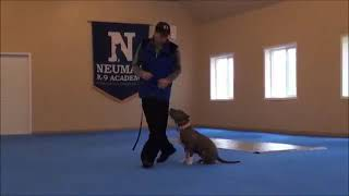 Jade (Pitbull Terrier) Dog Training Boot Camp Video