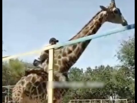 Kevin Johnson - Drunk Man Rides Giraffe At Zoo