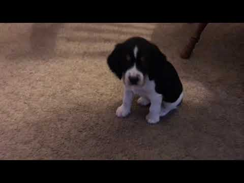 Our New Puppy! & Springer Spaniel Puppies!