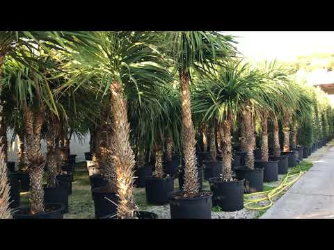 Big Plant Nursery - Choosing Cordylines in Italy (2017) – Part 1
