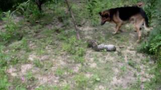 cachoro mata cobra