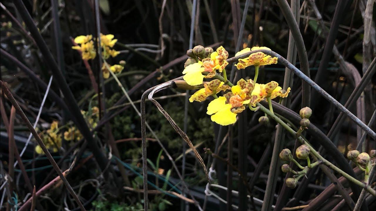 冬季開花的文心蘭 跳舞的蘭花 棒葉文心
