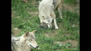 札幌市円山動物園のシンリンオオカミ、ジェイ(オス5歳)とキナコ(メス...