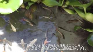 パラダイスフィッシュ(沖縄産)闘魚