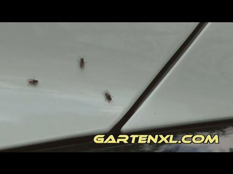 Wadenstecher Auf Der Motorhaube / Stechfliegen Auf Dem Auto