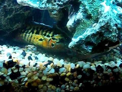 Nine Red Tiger Motaguense Cichlids Video Two Doovi