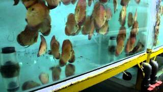 Discus Feeding skill at Lucky Tropical fish farm 2