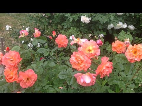 Роза Вестерленд (Westerland) селекции Kordes. Июнь 2017.