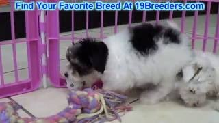 Morkie Puppies For Sale 19breeders