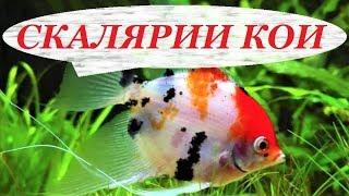 Скалярии Кои. Содержание в аквариуме, разведение, уход, совместимость