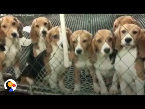 Dogs Tested On In Labs Get A Second Chance | The Dodo