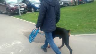 Дрессировка собак. Почему удобнее, когда собака идет справа.