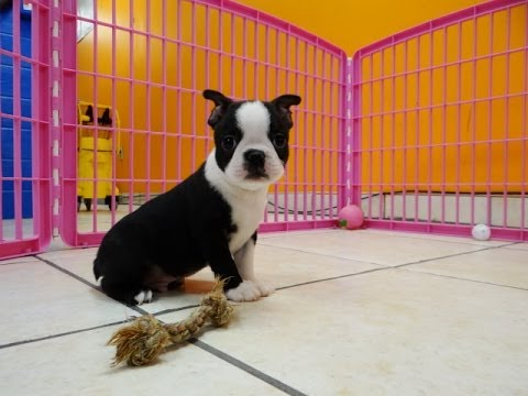 Boston terrier puppies for sale nc