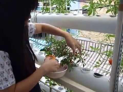Trồng rau sạch tại nhà (cà chua thủy canh)
