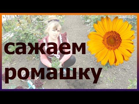 Ромашка: описание растения с фото цветов - Какие бывают цветы