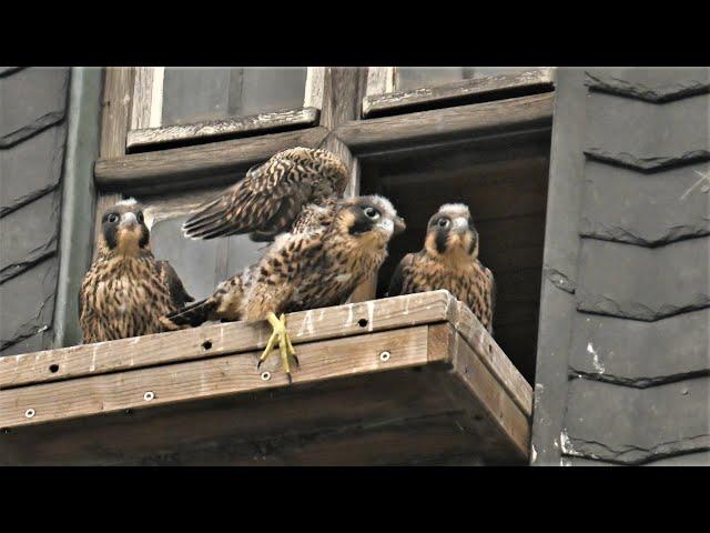 Aus dem Falkenfamilienleben und dem unfreiwilligen Abflug des ersten Jungvogels vom Balkon