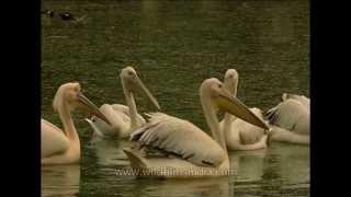 Pelicans - Rosy And Dalmatian