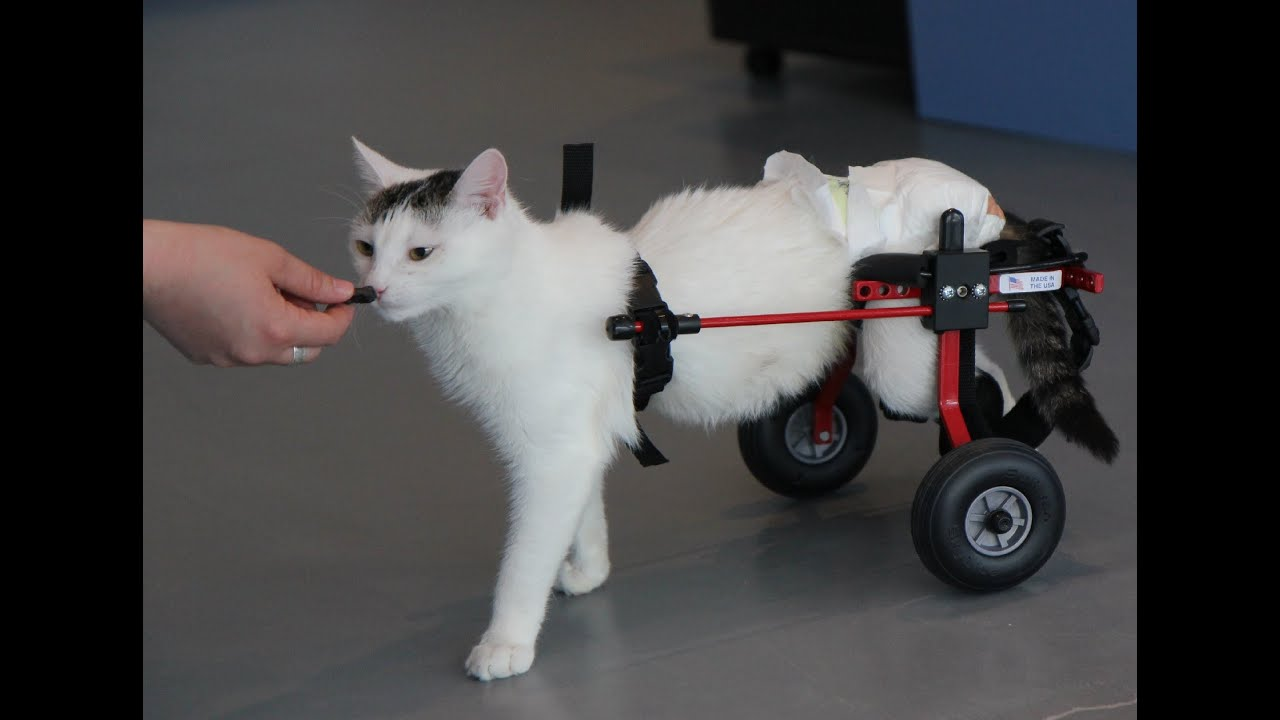 Wheelchair For Cats Swing Chair London Cat Youtube