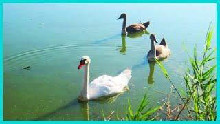 Лебединое утро на пруду Красивая природа