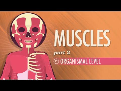 Muscles, part 2 - Organismal Level: Crash Course A&P #22