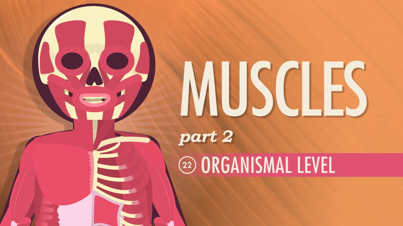 Muscles, part 2 - Organismal Level: Crash Course A&P #22 - YouTube
