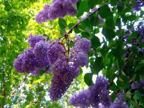 Lilac Tree With Flowers Syringa Vulgaris