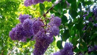 Lilac Tree With Flowers | Syringa Vulgaris