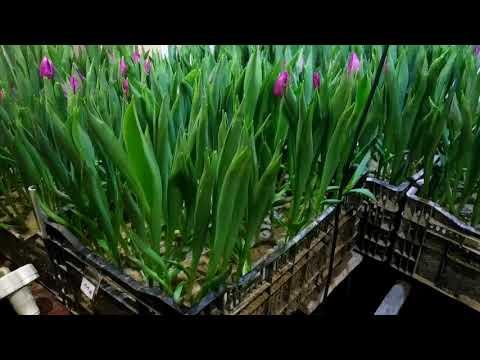 выгонка тюльпанов на 14.02.2020