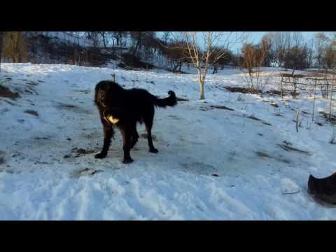 Huge Romanian sheepdog of breed Corb - video 2017 I