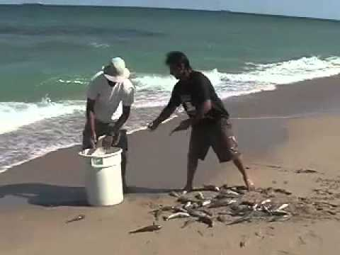 how to hook live bait for surf fishing