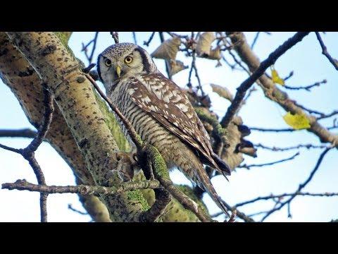 Sperweruil eet muis / Hawk Owl eats mouse