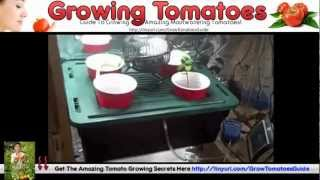 Grow Tomatoes Upside Down - Hanging Tomato Plants