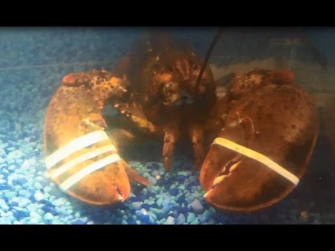 Some Guy Named Tias - Woman steals Lobster from Red Lobster tank and runs...