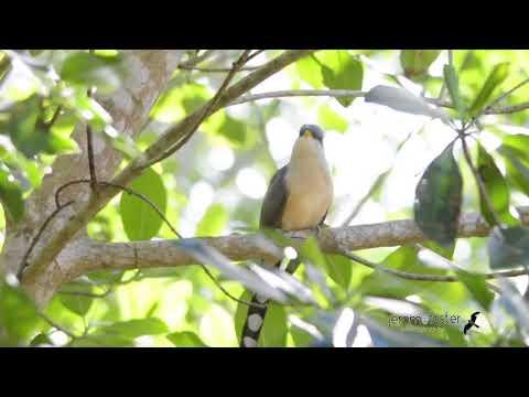 Mangrove Cuckoo  - Call of the Wild