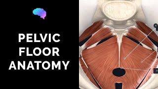 Pelvic Floor Anatomy (3D Anatomy Tutorial)