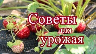 Клубника.Маленькие советы для большого урожая. (28.06.16)
