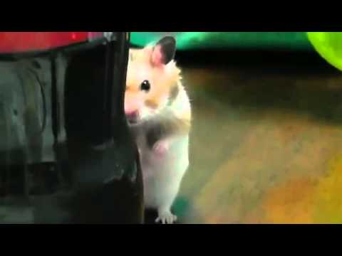 Pcm For Less >> Злой хомяк \ Angry hamster - YouTube