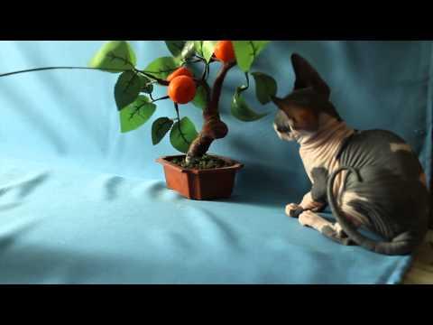 Канадский сфинкс котенок