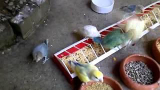 inside my Walk in flight cage with my lovebirds