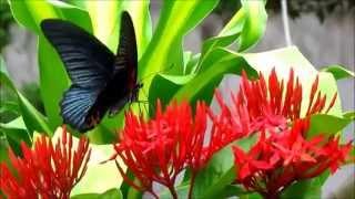 pillangó zeugma úszik fel