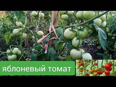 мини плантация томатов   яблочный томат