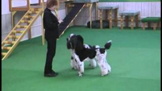 Poodle (Dog) Brace Dance: The Clockmaker