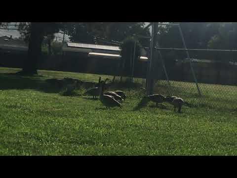 Canada Geese at Robert Randall Elementary School