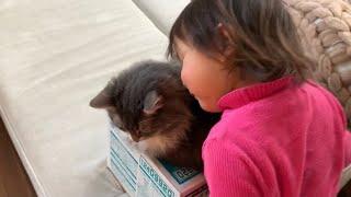 モンスターモフリストになりつつある娘から狙われる猫 ノルウェージャンフォレストキャット A cat targeted by the owner's daughter