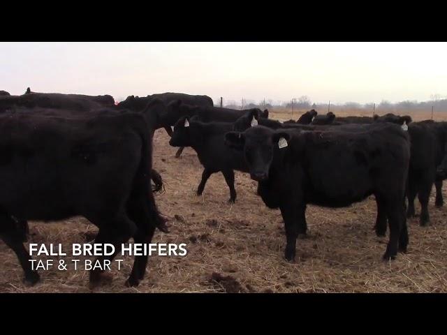 Taliaferro Angus \u0026 T Bar T Angus Ranch - Fall Bred Heifers