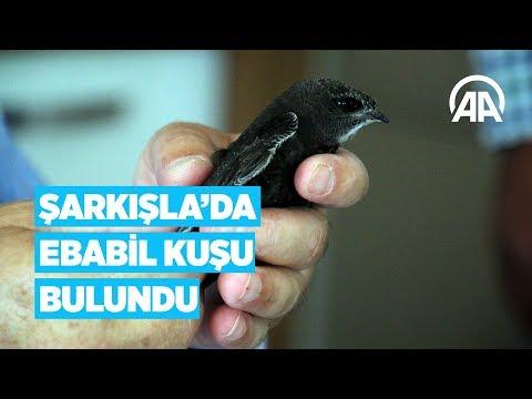 Şarkışla'da ebabil kuşu bulundu