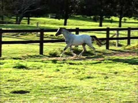 Welsh Mountain Pony Filly For Sale - Bellingara Chanel - NSW Australia