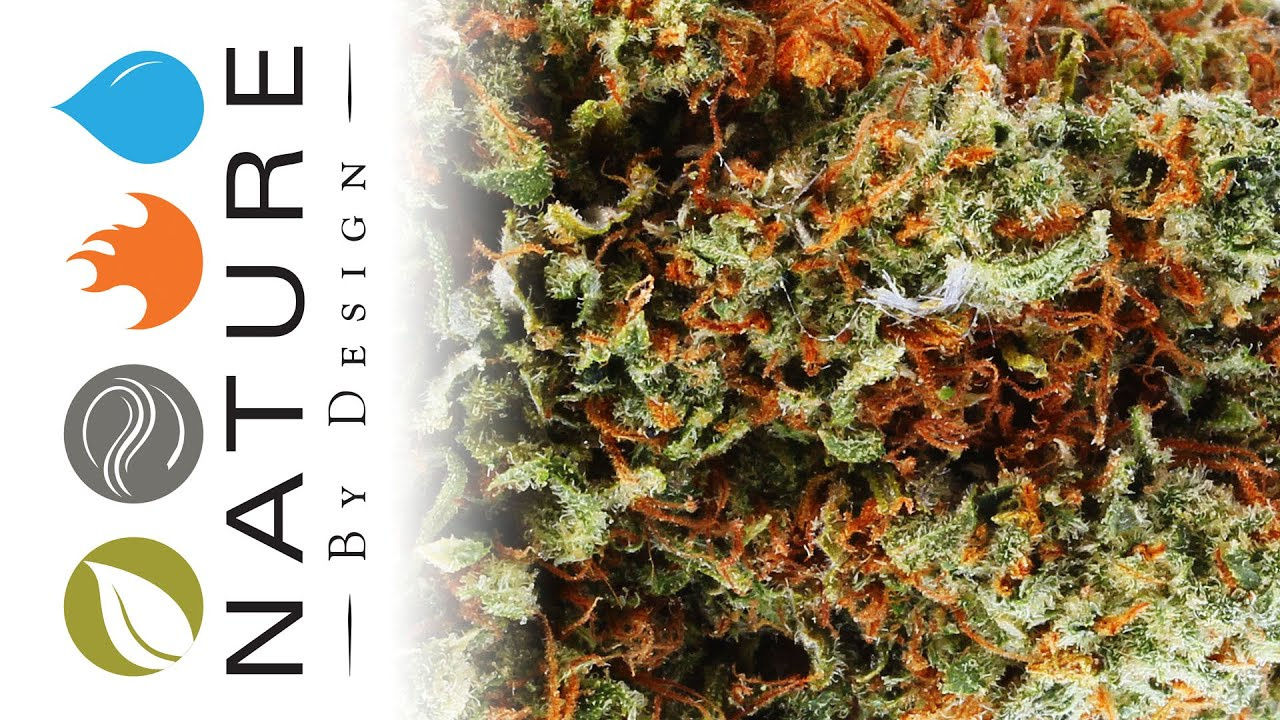 Northern Lights - Strain of the Day